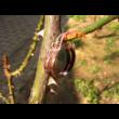 Rézinda - vörösréz karika fülbevaló